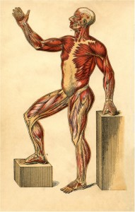 anatomy-muscle-man